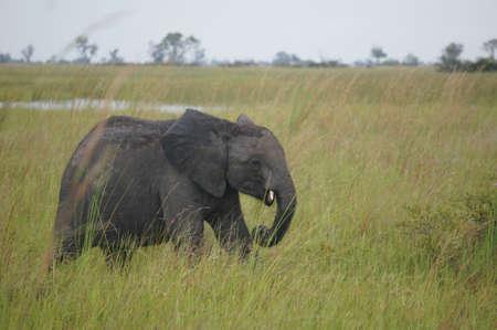 Okavango Delta: baby elephant