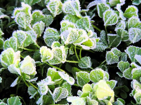 groundcover: A close up of frost and ice covering a clover groundcover early in the morning. Stock Photo