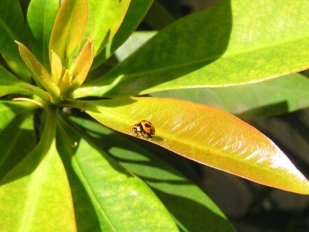 uplifting: A small orange and black ladybug crawling around on a leaf. Stock Photo