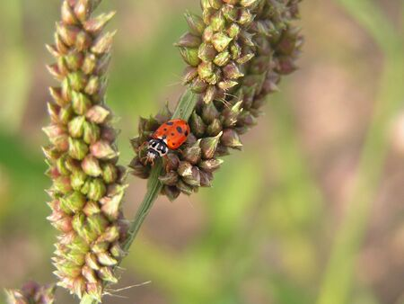 adventuring: A bright red and black ladybug adventuring around in a field of grass.