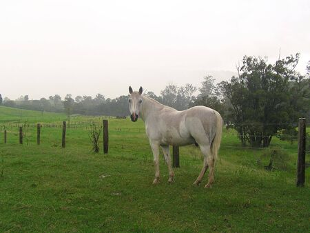 barbed wire fences: A beautiful white horse turns its head and poses for the camera against the background of lush bright green countryside with hills and barbed wire fences.