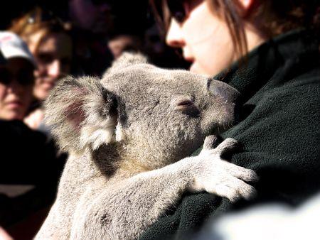 croud: A sleepy koala  Stock Photo