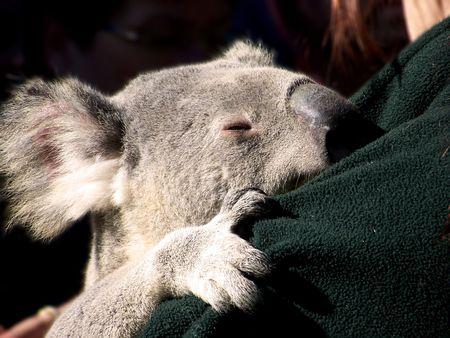 croud: A sleepy koala