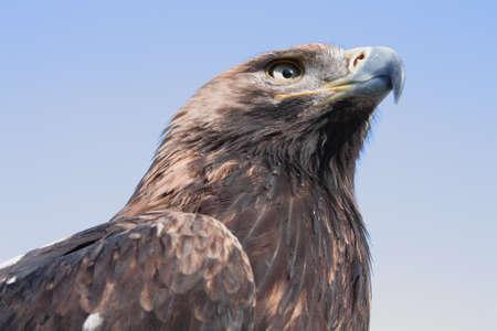 Big Mountain Eagle on a background of blue sky