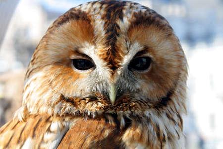 The adult owl close-up bird of prey