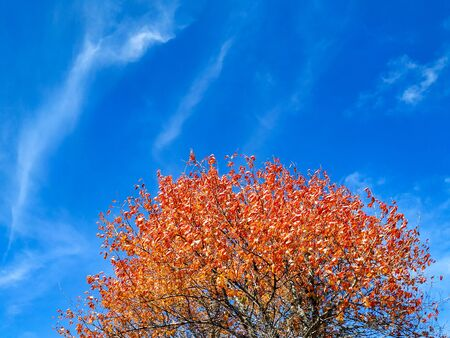 Red and orange golden leaves on a tree with blue sky in the background as a beautiful frame wallpaper of season changes during autumn Stok Fotoğraf