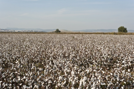 white ripe cotton field ready for harvest