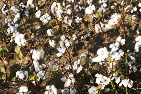 plant gossypium: white ripe cotton field ready for harvest