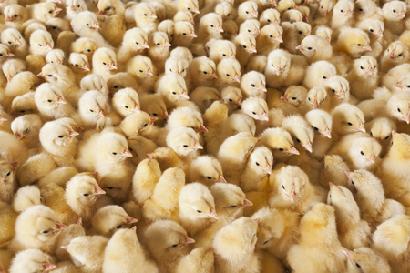 crowded space: baby chicks