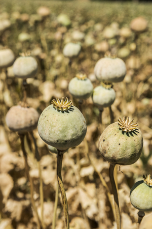 dependency: Opium poppies, They are watching you. Stock Photo