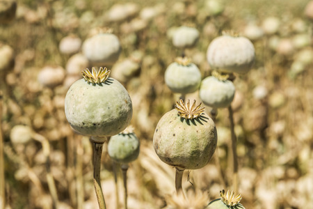 Opium poppies, They are watching you. Stock Photo
