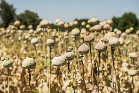 they: Opium poppies, They are watching you. Stock Photo