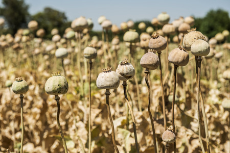 they are watching: Opium poppies, They are watching you. Stock Photo