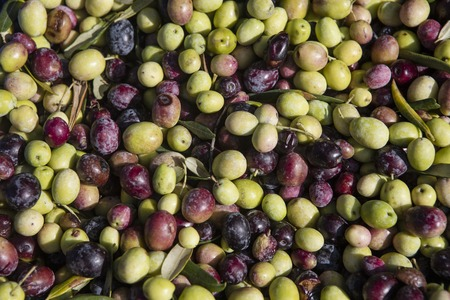 monoculture: Newly picked olives of different colors and olive leafs.