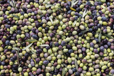 Newly picked olives of different colors and olive leafs.
