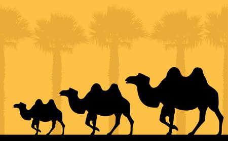 morning walk: camels