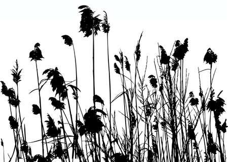 reeds  イラスト・ベクター素材