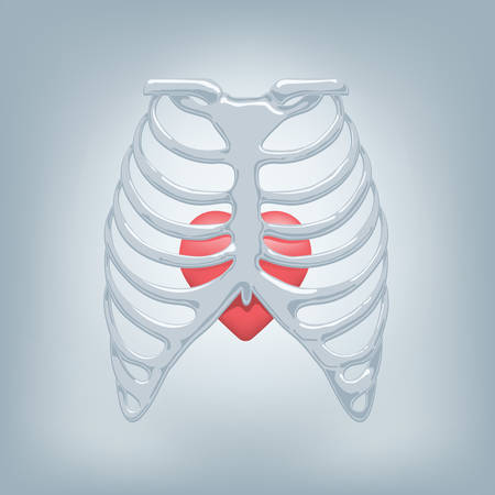vector illustration of a human thorax