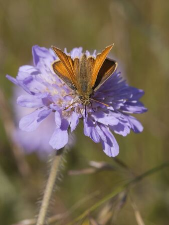 ochlodes: skipper butterfly ochlodes venatus on scabious flower knautia arvensis in summer