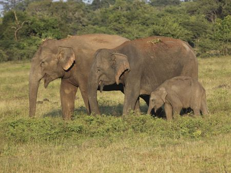 wild asia: three indian elephants in wasgomuwa national park sri lanka Stock Photo