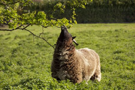 jacobs ewe browsing from a hawthorn tree in a spring meadow photo