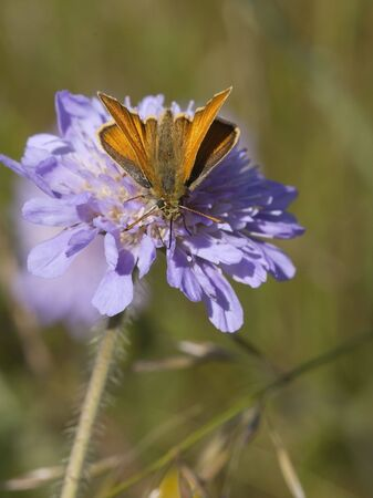arvensis: a skipper butterfly ochlodes venatus on a scabious flower knautia arvensis
