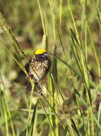 streaked: a streaked weaver ploceus manyar in wasgomuwa national park sri lanka Stock Photo