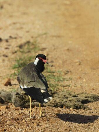 wattled: red wattled lapwing in sri lanka