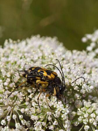 wasp beetles clytus arietis on flwers in summer