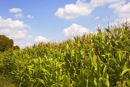 a field of corn with blue sky in summer photo
