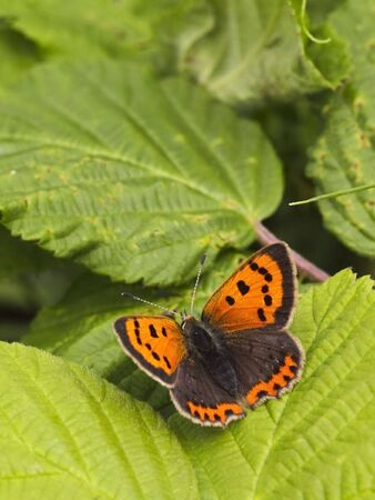 lycaena: a small copper butterfly lycaena phlaeas on a leaf in summer