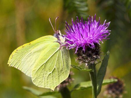 a brimstone butterfly gonepteryx rhamni on a knapweed flower photo