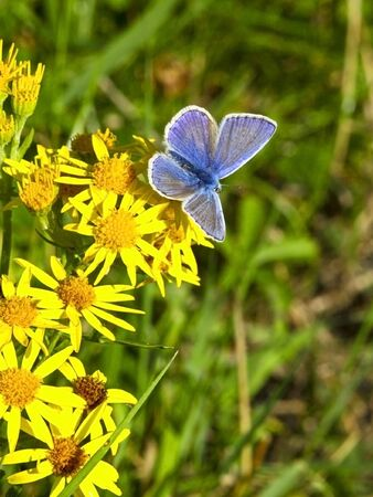 a male common blue butterfly polyommatus icarus on yellow ragwort flowers photo