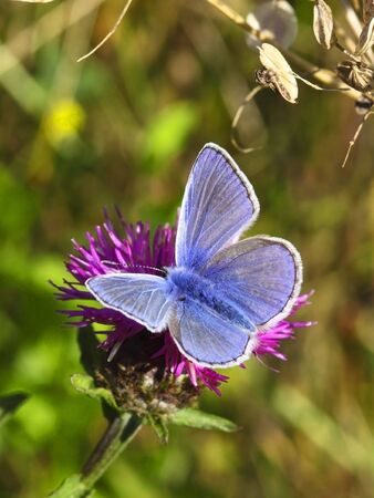 a male common blue butterfly polyommatus icarus on a knapweed flower photo
