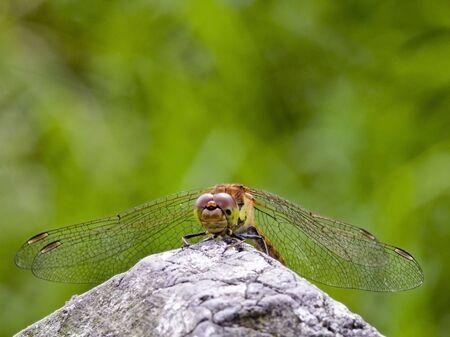 sympetrum: a newly emerged dragonfly sympetrum striolatum in summer