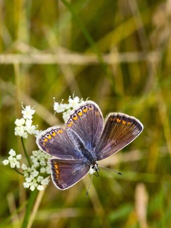 icarus: a female common blue butterfly polymmatus icarus in summer