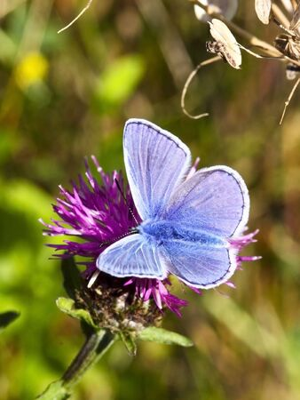 polyommatus: a male common blue butterfly polyommatus icarus on a knapweed flower Stock Photo