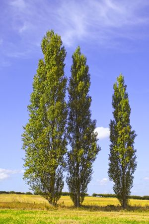 three poplar trees in the countryside in summer photo