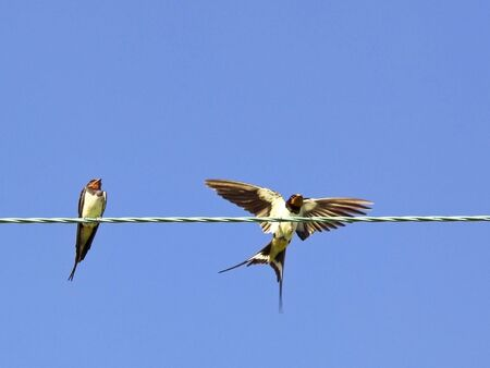 hirundo rustica: two swallows hirundo rustica on a wire getting ready to migrate in late summer Stock Photo