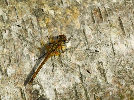 sympetrum: a dragonfly sympetrum scoticum on a tree in summer
