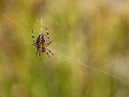 meta: a spider meta segmentata in a web in summer Stock Photo
