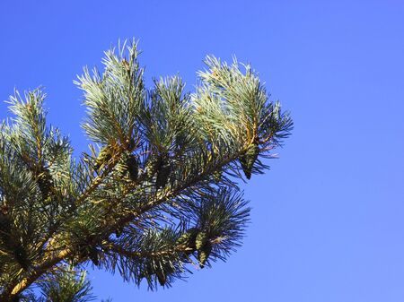 scots pine: a scots pine branch with green cones