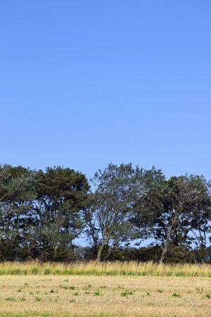 poplars: white poplars in a field of stubble