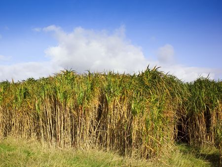 a field of miscanthus elephant grass under a bright blue sky photo