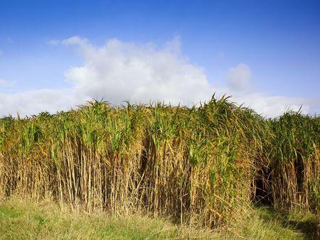 a field of miscanthus elephant grass under a bright blue sky Reklamní fotografie