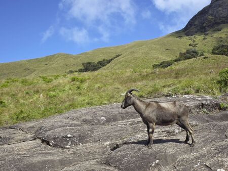 south india: a nilgiri tahr on a hillside in eravikulam national park south india Stock Photo