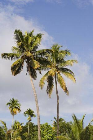 colorful kerala palm trees under a tropical blue sky photo