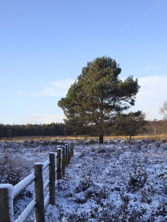 a scots pine tree and a wooden fence on a snowy winters day photo
