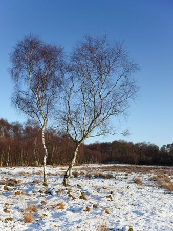 two silver birch trees in the snow aganst a backdrop of woods and a clear blue sky photo