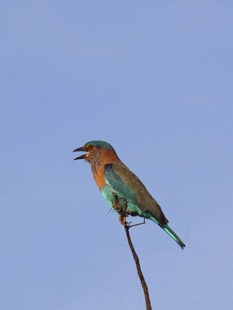 an indian roller on a branch in sri lanka against a blue sky Stock Photo - 6680925